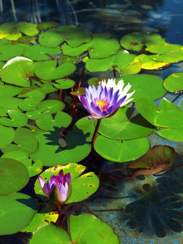 How much does a pond with water lilies cost?